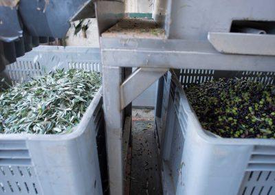 Olive defogliate