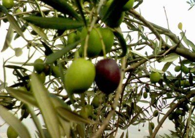 olive4b